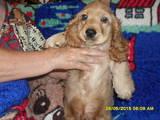 Собаки, щенята Англійський коккер, ціна 1200 Грн., Фото