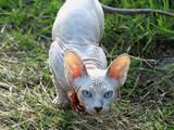 Кішки, кошенята Канадський сфінкс, ціна 8000 Грн., Фото