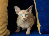 Кішки, кошенята Канадський сфінкс, ціна 5000 Грн., Фото