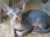 Кішки, кошенята Канадський сфінкс, ціна 6000 Грн., Фото