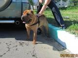 Собаки, щенята Шарпей, ціна 1 Грн., Фото