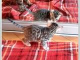 Кішки, кошенята Бенгальськая, ціна 7000 Грн., Фото