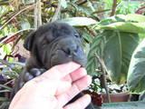 Собаки, щенята Шарпей, ціна 1800 Грн., Фото
