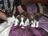 Собаки, щенята Гладкошерста фокстер'єр, ціна 5000 Грн., Фото