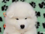 Собаки, щенки Самоед, цена 7500 Грн., Фото