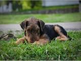 Собаки, щенята Ердельтер'єр, ціна 5000 Грн., Фото