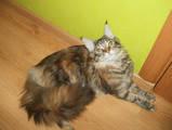 Кішки, кошенята Мейн-кун, ціна 3500 Грн., Фото