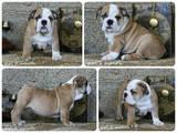 Собаки, щенки Английский бульдог, цена 16500 Грн., Фото