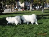 Собаки, щенки Самоед, цена 11000 Грн., Фото