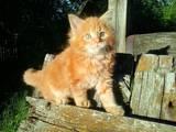 Кішки, кошенята Мейн-кун, ціна 2100 Грн., Фото