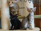 Кішки, кошенята Орієнтальна, ціна 4000 Грн., Фото