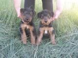 Собаки, щенки Вельштерьер, цена 6000 Грн., Фото