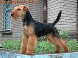 Собаки, щенята Вельштер'єр, ціна 8000 Грн., Фото