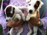 Собаки, щенки Гладкошерстный фокстерьер, цена 4000 Грн., Фото