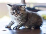 Кішки, кошенята Персидська, ціна 10 Грн., Фото