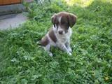 Собаки, щенята Німецька жорсткошерста лягава, ціна 600 Грн., Фото