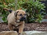 Собаки, щенки Мальоркский бульдог (Ка Де Бо), цена 25000 Грн., Фото