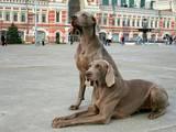 Собаки, щенята Веймарська лягава, ціна 6000 Грн., Фото