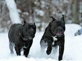 Собаки, щенки Кане Корсо, цена 24000 Грн., Фото