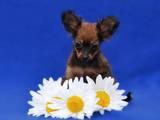 Собаки, щенки Русский длинношерстный тойтерьер, цена 5000 Грн., Фото