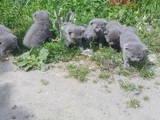 Кошки, котята Британская короткошерстная, цена 800 Грн., Фото