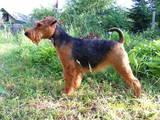 Собаки, щенята Вельштер'єр, ціна 3000 Грн., Фото
