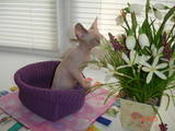 Кошки, котята Канадский сфинкс, цена 4000 Грн., Фото