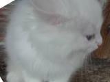 Кішки, кошенята Персидська, ціна 150 Грн., Фото