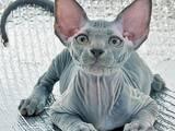 Кішки, кошенята Канадський сфінкс, Фото