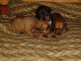Собаки, щенята Російський гладкошерстий тойтерьер, ціна 3400 Грн., Фото