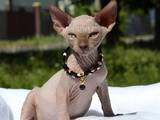 Кішки, кошенята Канадський сфінкс, ціна 4000 Грн., Фото