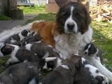 Собаки, щенята Московська сторожова, ціна 2500 Грн., Фото