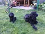 Собаки, щенята Російський спаніель, ціна 720 Грн., Фото