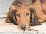 Собаки, щенята Довгошерста такса, ціна 2500 Грн., Фото