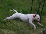 Собаки, щенята Американський бульдог, ціна 10308 Грн., Фото