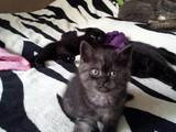 Кішки, кошенята Шотландська висловуха, ціна 500 Грн., Фото