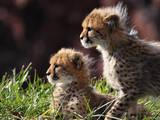 Тварини Екзотичні тварини, ціна 30000 Грн., Фото