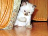 Кішки, кошенята Тайська, ціна 700 Грн., Фото