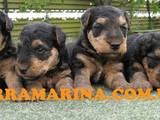 Собаки, щенята Вельштер'єр, ціна 5500 Грн., Фото