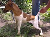 Собаки, щенки Гладкошерстный фокстерьер, цена 3000 Грн., Фото