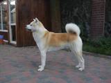 Собаки, щенки Акита-ину, цена 18000 Грн., Фото