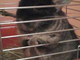 Грызуны Шиншиллы, цена 450 Грн., Фото