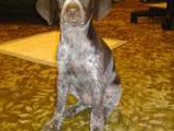 Собаки, щенки Немецкая гладкошерстная легавая, цена 700 Грн., Фото