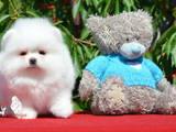 Собаки, щенята Різне, ціна 40000 Грн., Фото