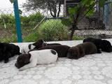 Собаки, щенята Німецька гладкошерста лягава, ціна 10000 Грн., Фото