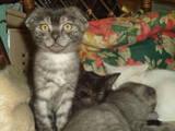 Кошки, котята Шотландская вислоухая, цена 100 Грн., Фото