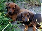 Собаки, щенки Жесткошерстная такса, цена 600 Грн., Фото
