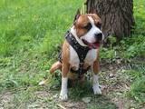 Собаки, щенята Стаффордширський бультер'єр, ціна 3000 Грн., Фото