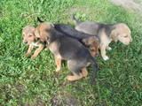 Собаки, щенята Російський хорт, ціна 250 Грн., Фото