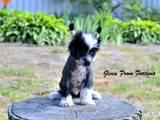 Собаки, щенята Китайська чубата собака, ціна 800 Грн., Фото